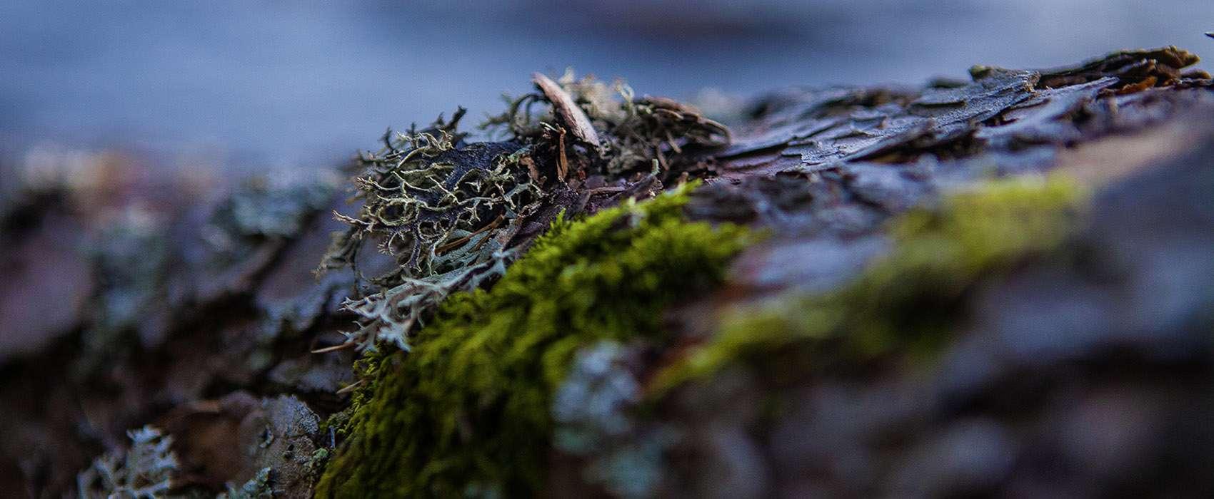 Moos am Baumstamm auf einer kleinen Insel im Dalsland. Eine Kanutour in Schweden an der Grenze zu Norwegen.